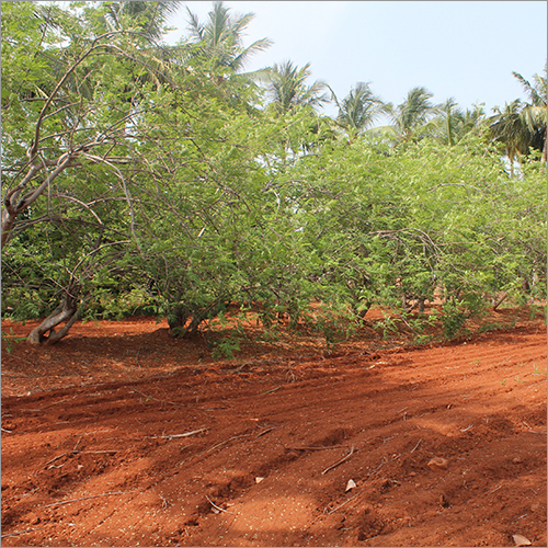 Moringa Farm