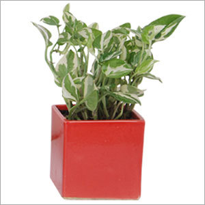 Small Square White Pothos