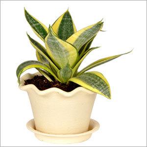 Sansevieria Golden Plant