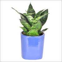 Sansevieria Green Plant