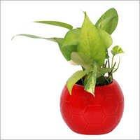 Indoor Money Plant