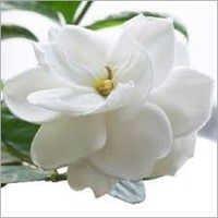 Gardenia Oil