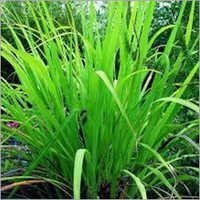 Gingergrass Oil