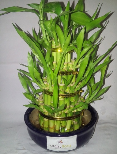 4 Layer Lucky Bamboo