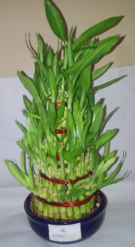 5 Layer Lucky Bamboo