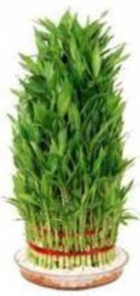 8 Layer Lucky Bamboo