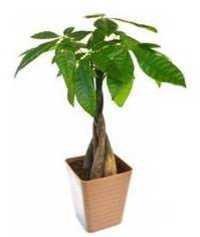 Pakira Indoor Plant