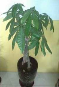 Pachira Money Tree