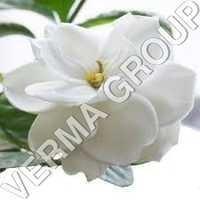 Gardenia Perfume Attar