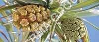 Kewra Attar of Kewra Flower