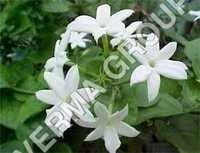 Pure Jasmine Oil Attar