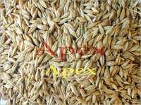 Barley Grains<