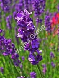 Lavender Brown Absolute Oil