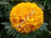 Marigold/ Rub Genda/ Tegetes Absolute Oil
