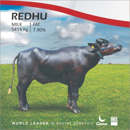 Redhu Murrah Bull Semen from ABS