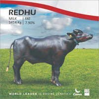 Redhu Murrah Bull Semen from ABS