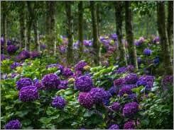 Hydrangea Purple Flower