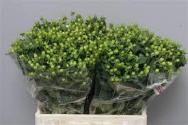 Hypericum Green Flower