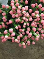 Hypericum Pink Flowers