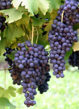 BANGALORE BLUE SEEDED GRAPES