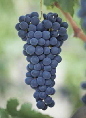 GULABHI  (MUSCAT) SEEEDED  GRAPES