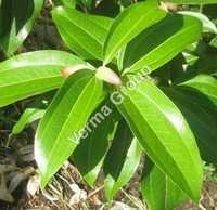 Cinnamon Oil Certified Organic