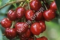Sweet Cherry Kernel Carrier Oil