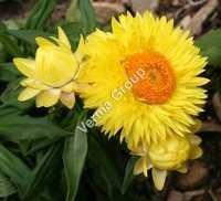 Therapeutic Helichrysum Oil