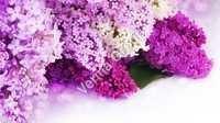 Therapeutic Lavender Oil