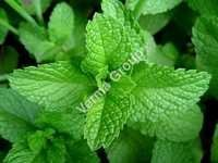 Therapeutic Peppermint Oil