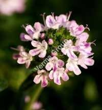 Therapeutic Thyme Oil