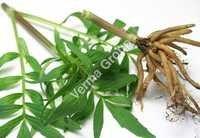 Therapeutic Valerian Root Oil
