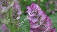 Wild Crafted Clary Sage Oil