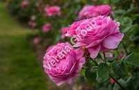 Wild Crafted Rose Oli