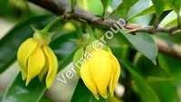 Wild Crafted Ylang Ylang Oil