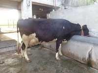 Holstein friesian Trader