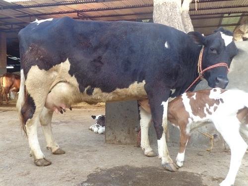 HF Cow