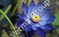 Lotus (Blue) Absolute Oil