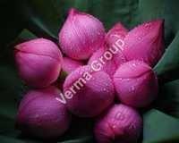 Lotus (Pink) Absolute Oil