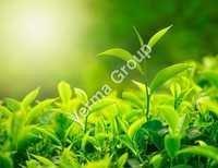Tea Green Absolute Oil