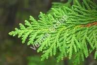 Cedar Leaf Water