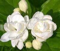 Jasmine Grandiflorum Water