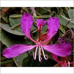 Bauhinia Purpurea Seed