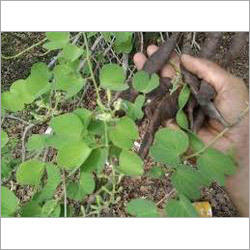 Bauhinia Racemosa Seed