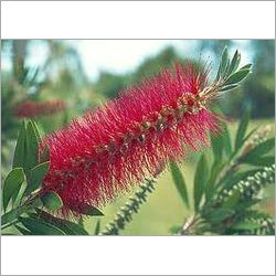 Callistemon Lanceolatus Plant