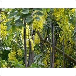 Cassia Fistula Clean Plant