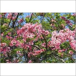 Cassia Javanica Plant