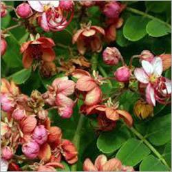 Cassia Marjinata Plant