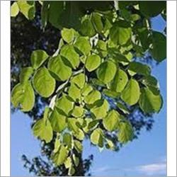 Dalbergia Latifolia Plant
