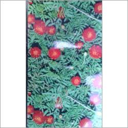 Marigold Mairrun Double Seeds